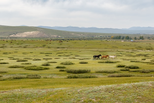 Horses in the mongolian steppe, mongolian landscape