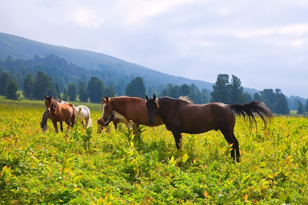 Horses on mountains meadow