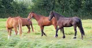 Horses in the netherlands, farm