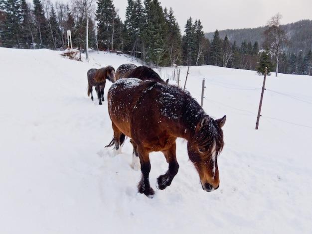 Horses in norway farm snow