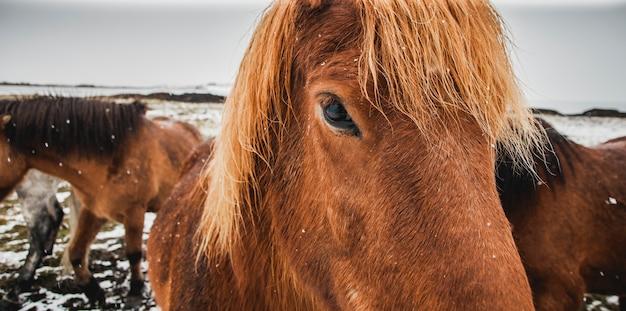 Лошади исландской расы в снежном загоне, экологи стараются сохранить чистоту вида.