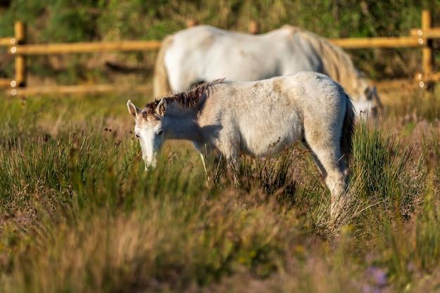 Лошади камарга в природном парке болот ампурдан, жирона, каталония, испания.