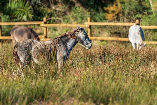 スペイン、カタルーニャ、ジローナのアンプルダー湿原の自然公園にあるカマルグ馬。
