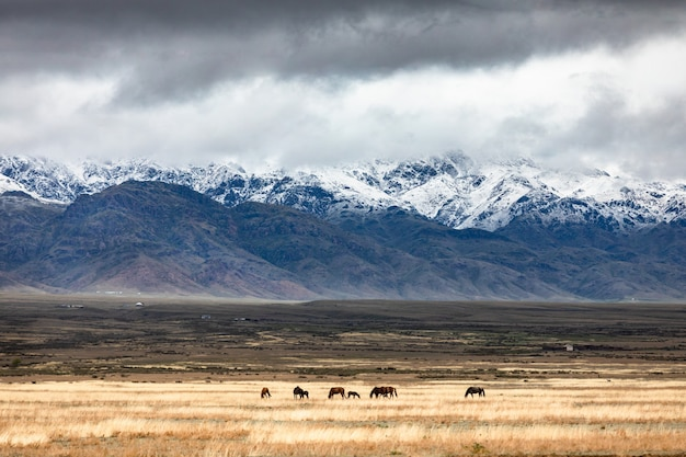 Horses on pasture dramatic sky over golden steppe
