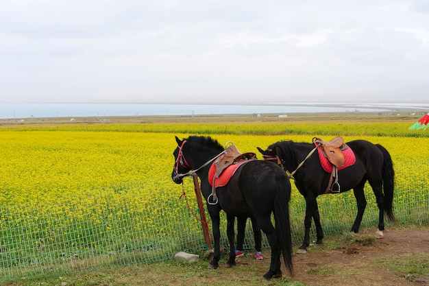 Horses and rape flower in qinghai province china