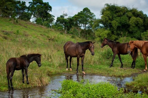 Horses at a waterhole, santa cruz island, galapagos islands, ecuador