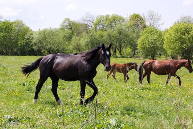 牧草地に子馬がいる馬