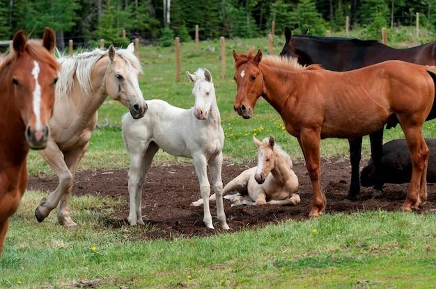 牧場、北アルバータ州、アルバータ、カナダで馬を持つ馬