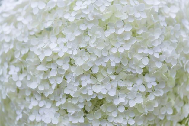 Цветение белой гортензии (hortensia) в саду
