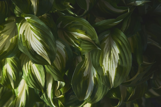 Host plant. bright green background with leaves. hosta in garden