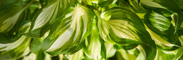 Host plant. bright green background with leaves. hosta in garden.