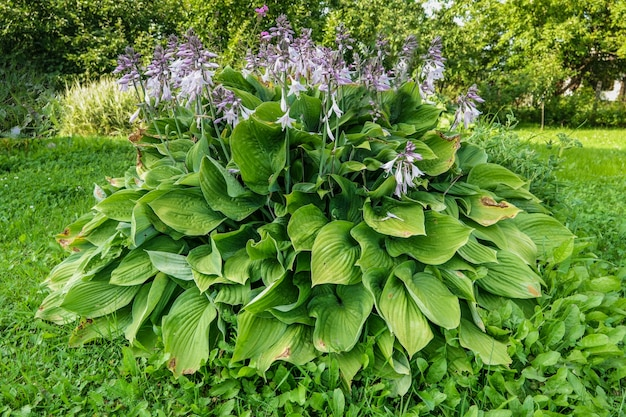 Хоста лат. хоста в саду. хоста - род многолетних травянистых растений семейства зеленых.
