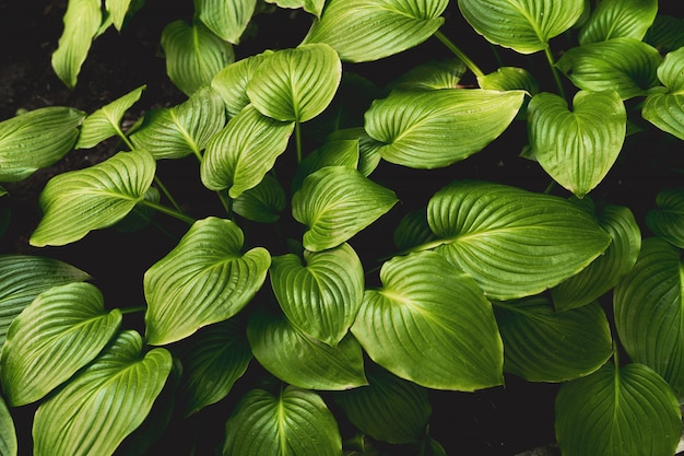 Hosta. plaintain lily. hosta japonica