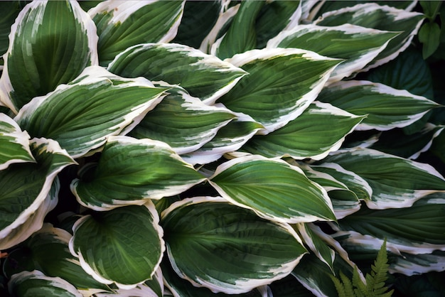 Hosta plant green and white leaves top view