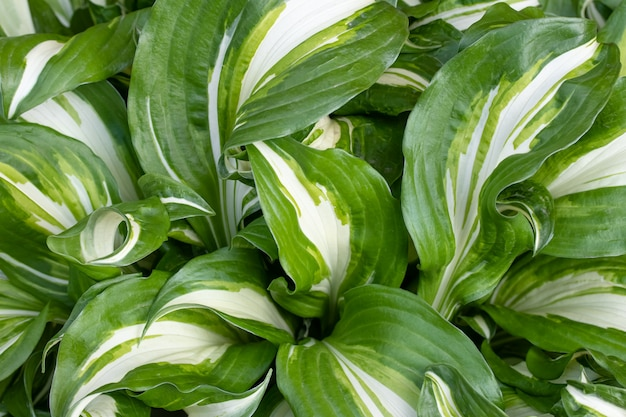 Hosta undulata is a cultivar of the genus hosta. ornamental plants in borders. leaf texture, background of a green wide striped leaves. nature wallpaper.