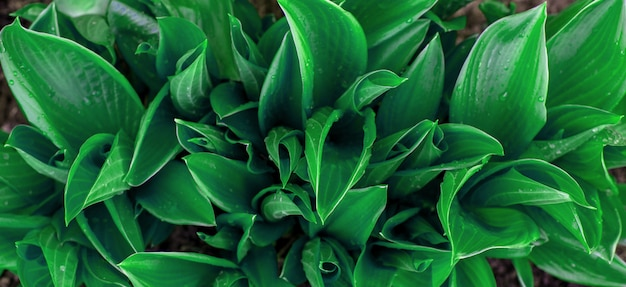 Hosta植物の緑豊かな観賞用の葉