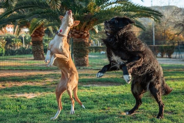 Собаки гончей и бордер-колли прыгают