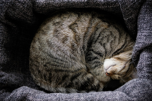 The house cat lies and sleeps on a knitted blanket, snugly curled up.