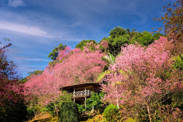 Дом сакуры wild himalayan cherry в кхун чанг киан чиангмай таиланд