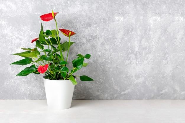 白いテーブルと灰色の背景に分離された白い植木鉢の観葉植物アンスリウム