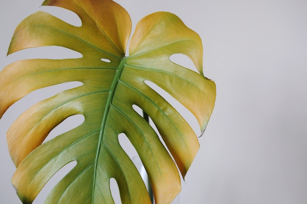 House plant monstera gradient leaf on grey background. plant interior in fall. high quality photo