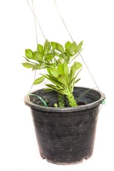 Комнатное растение в горшке на белом фоне.