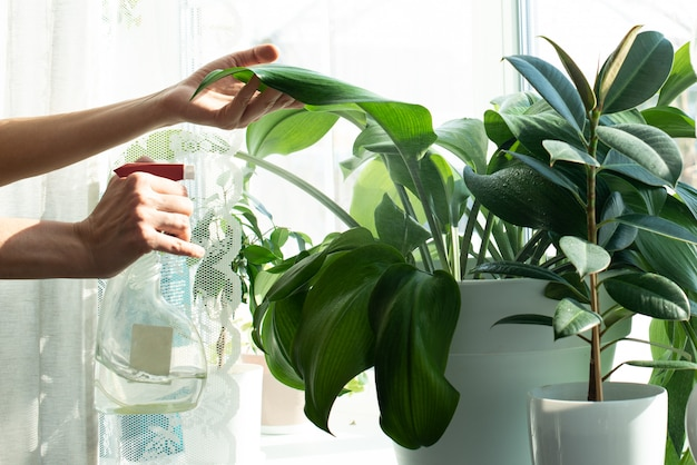 House plants on a window sill. home plant care. spraying with water. garden care. ficus. home work. cleaning