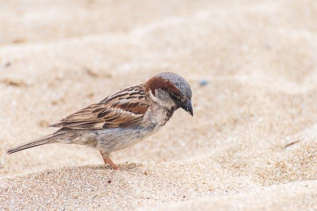 House sparrow bird on the beach