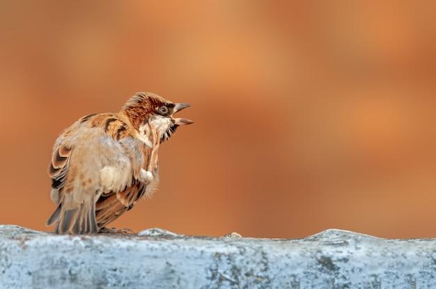 House sparrow doing yoga on a white wall