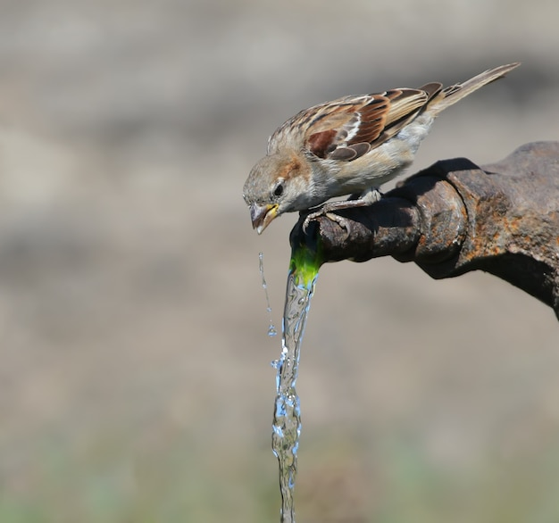 A house sparrow drinks tap water. close up portrait