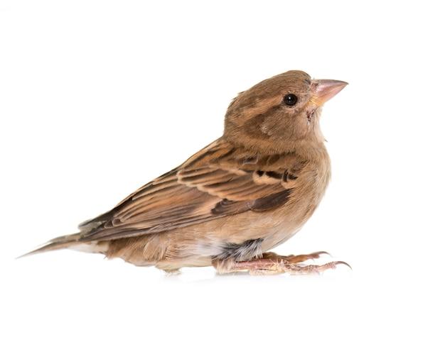 House sparrow isolated