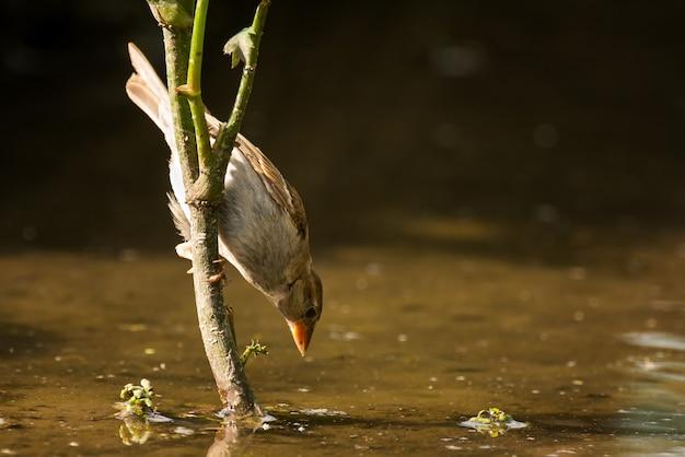 Домашний воробей (passer domesticus) пьет в птичьей ванне.