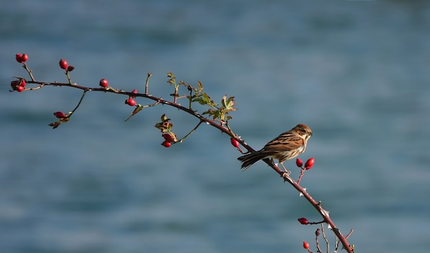 House sparrow perched on a branch with berries
