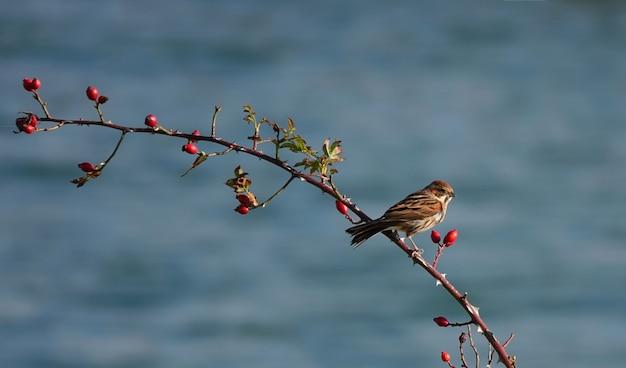딸기와 나뭇가지에 자리 잡고 집 참새