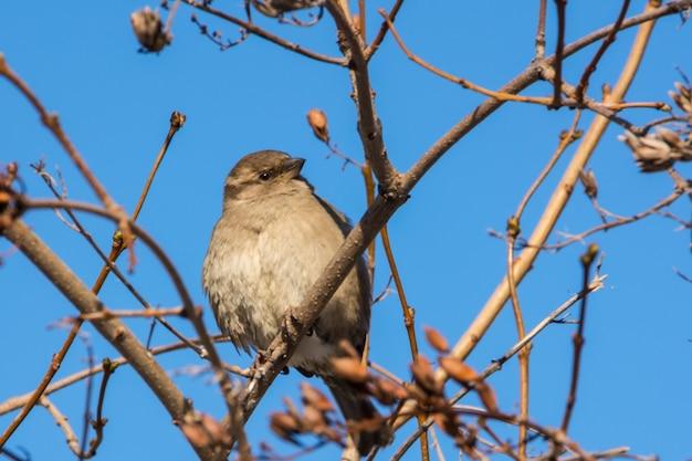 집 참새는 나뭇가지에 자리 잡고 있습니다. 통행인 도메스티쿠스.
