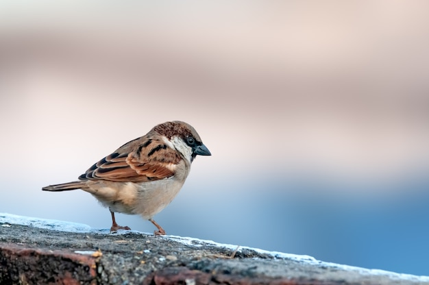 House sparrow sitting on a brick wall