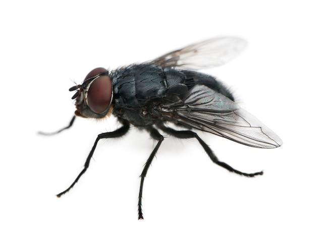 Housefly - musca domestica