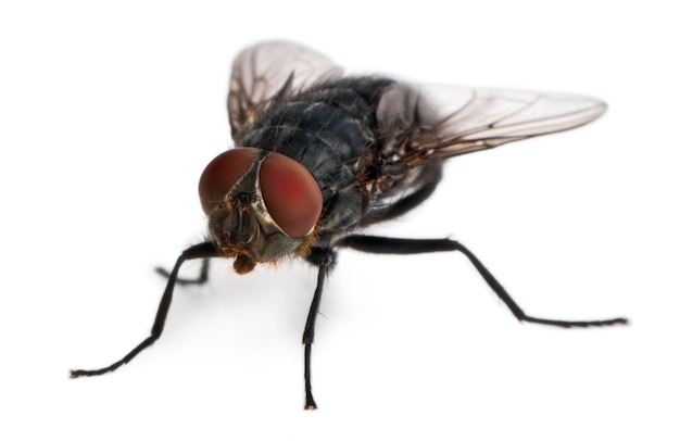 Housefly, musca domestica,