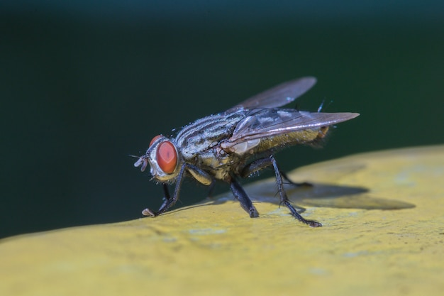 Housefly in the yellow and black background,macro closeup,hairy home fly.
