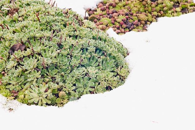 雪の中のセンペルビブム属-春先のsempervivum多肉植物