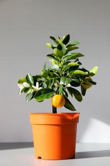 Houseplant citrus calamondin lit by sunlight on grey background, vertical. home gardening