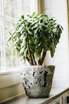 Houseplant crassula ovata jade plant money tree on the windowsill