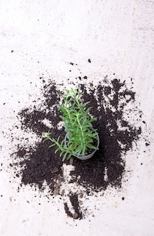Houseplant fallen on a white surface surrounded by spilled soil