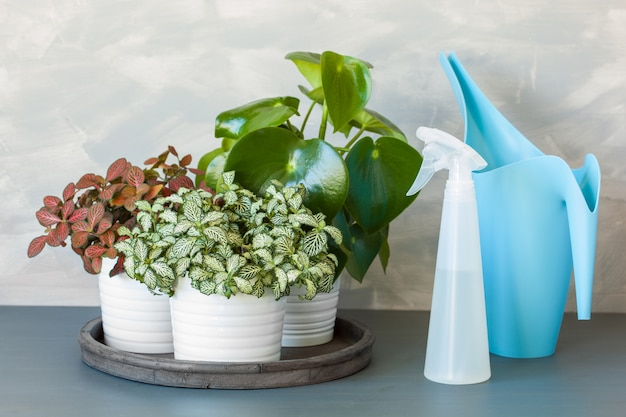 Houseplant fittonia albivenis and peperomia in white pot