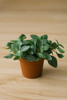 Houseplant fittonia dark green with white streaks in a brown pot on a beige background with boards.