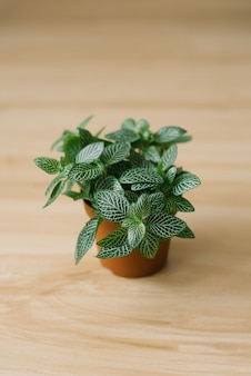 Houseplant fittonia dark green with white streaks in a brown pot on a beige background