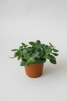 Houseplant fittonia dark green with white streaks in a brown pot on a white background