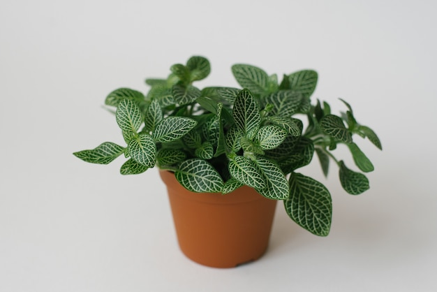 Houseplant fittonia dark green with white streaks in a brown pot on a white