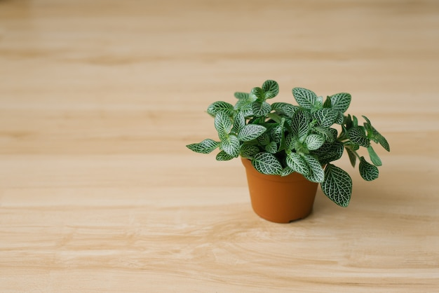Houseplant fittonia dark green with white streaks in a brown pot