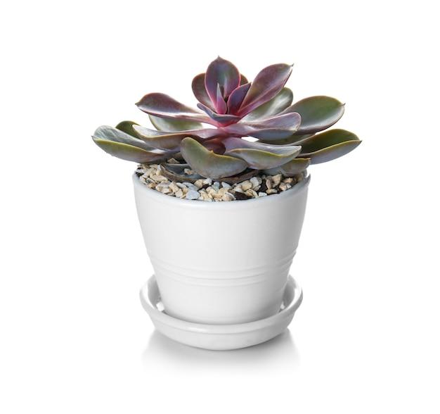 白で隔離される鍋の観葉植物